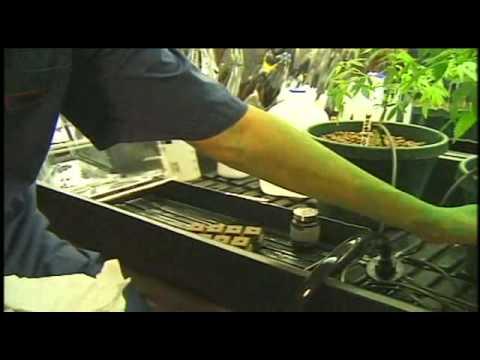 I Grow Chronic! Cannabis Hydro Cultivation