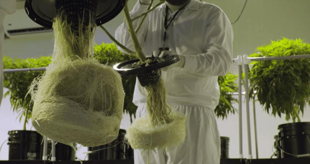 aeroponic weed