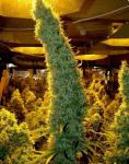 big cannabis cola