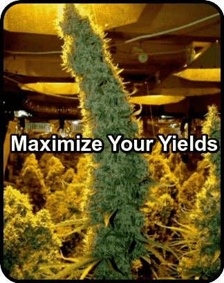 increase cannabis yields