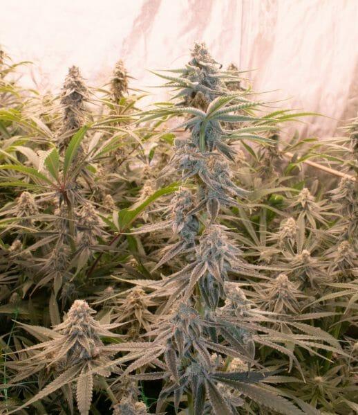 water cannabis flowering